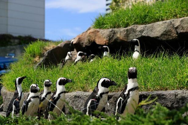 緑の中を歩くケープペンギンが見られる「草原のペンギン」