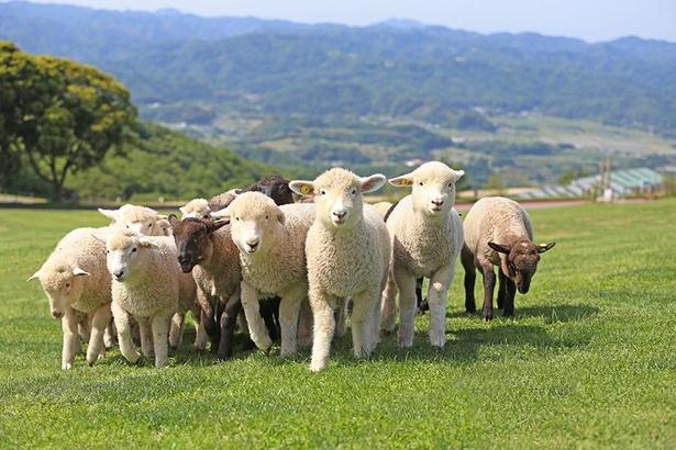 マザー牧場では牛やヒツジ、うさぎなど7種類の動物たちが暮らしている