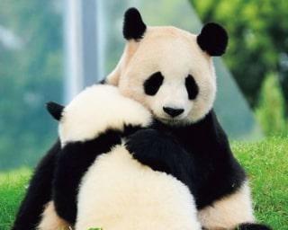 パンダたちの未来を守りたい!支援額が早くも4000万円を突破/アドベンチャーワールドのパンダ通信