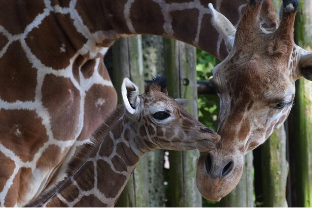 2020年5月13日にキリンの赤ちゃんが誕生。杏ママと仲睦まじい姿が見られる