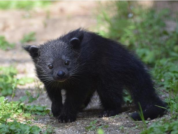 【写真】くりくりおめめのクマネコの赤ちゃんほか、動物の赤ちゃんたちに出合える