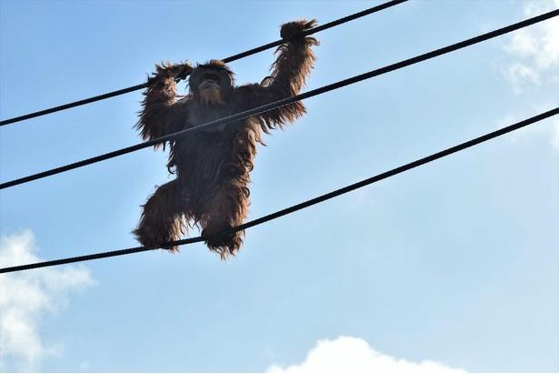 観ているほうがドキドキするオランウータンの空中散歩