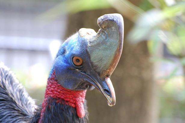 その名の通り、パプアニューギニアやインドネシアの鳥、パプアヒクイドリ