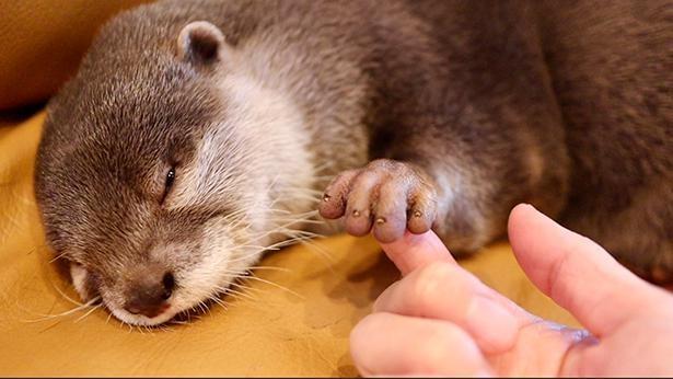 小さな爪がコツメカワウソの名前の由来