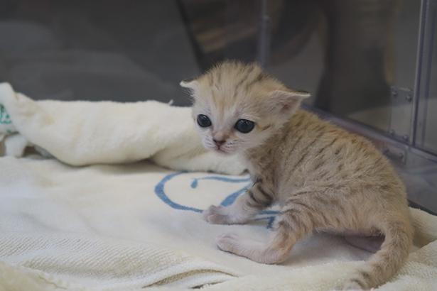 4月27日誕生したスナネコの赤ちゃん