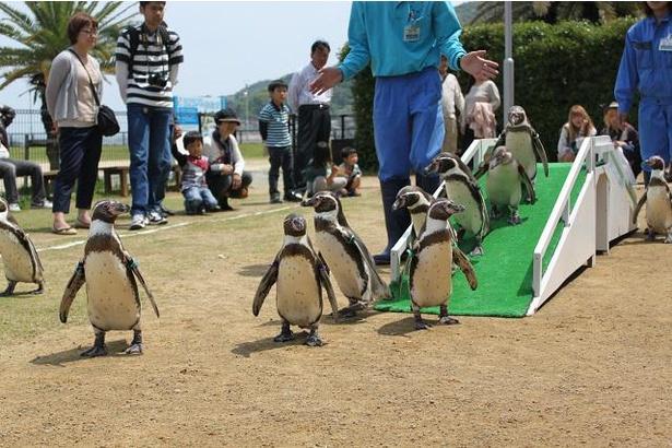 土曜・日曜・祝日開催の「ペンギンのお散歩タイム」