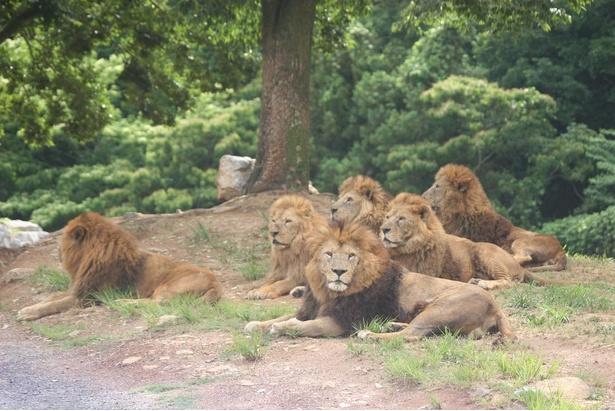 動物たちの自然な表情が見られるのはサファリパークの魅力