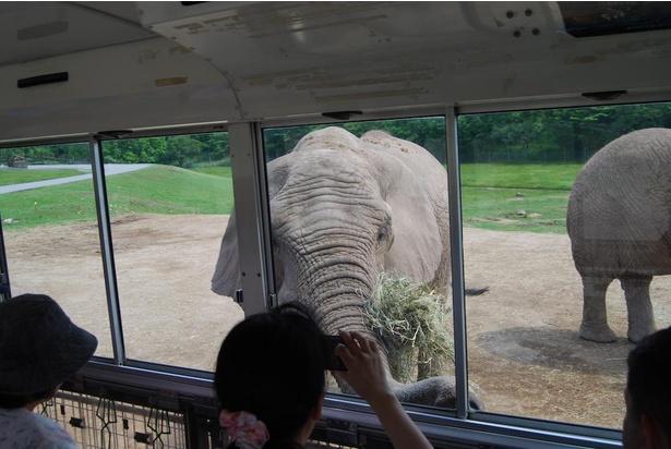 バスにつけたエサを食べるゾウ。こんなに間近にやってくる!
