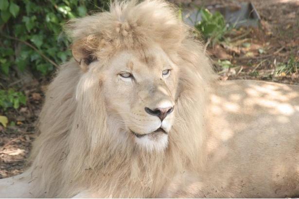 神秘的な威厳を漂わせるホワイトライオンのシャイン。優雅!