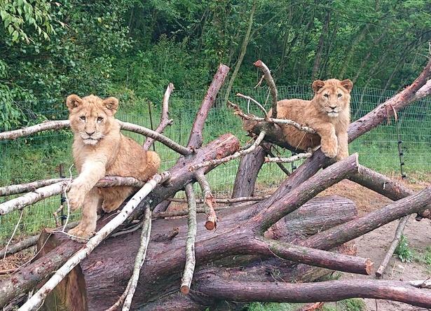 サファリランドの若獅子、ライオンのレイくんとカズくん