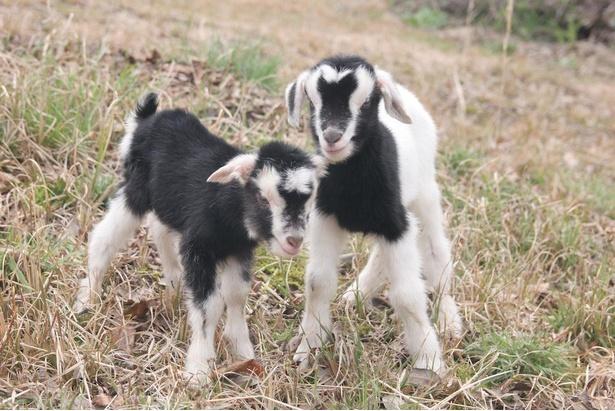動物ふれあい広場のヤギの赤ちゃん。小さくてふわふわしていてかわいい!