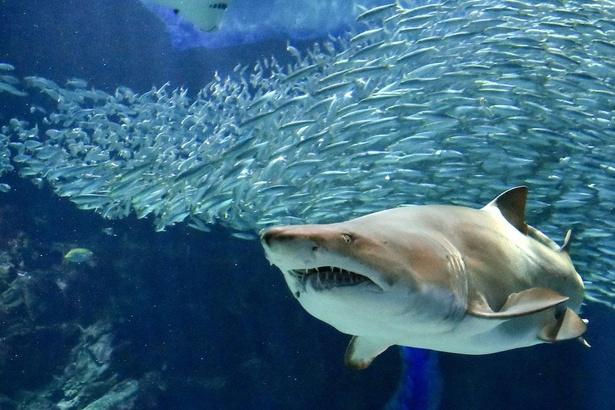 水深7メートルの外洋大水槽では、悠々と泳ぐイワシの大群やサメやエイが見られる