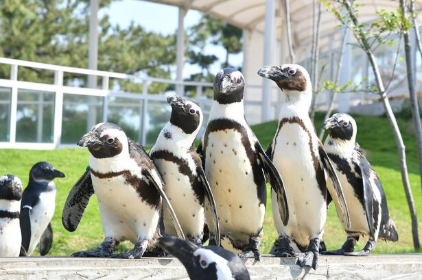 飼育員に育てられたペンギンは人懐っこく、寄ってきてくれることも