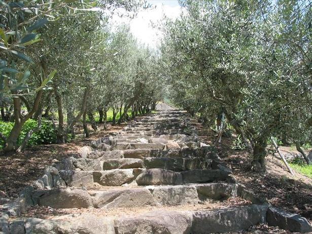 オリーブ畑に敷かれた石畳の「オリーブの路」