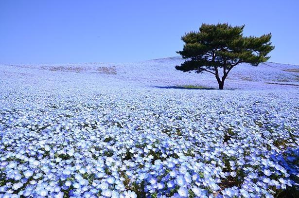 みはらしの丘一面に咲くネモフィラは必見