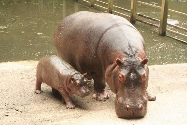 """第4子となる""""百吉(ももきち)""""とモモ。現在、百吉は長崎から北海道の長い旅を経て、旭山動物園で元気に暮らしている"""