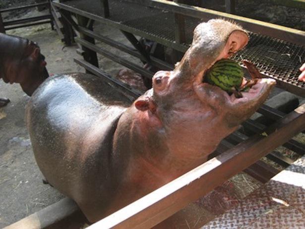 豪快にスイカを食べる姿が名物になっている「カバのスイカまるごとタイム」
