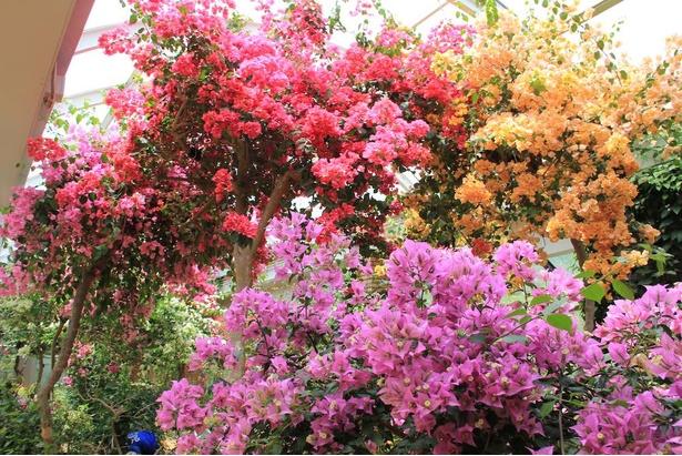 """ブーゲンヴィレアを中心に、さまざまな花木やつる性植物を配した""""花の廻廊"""""""