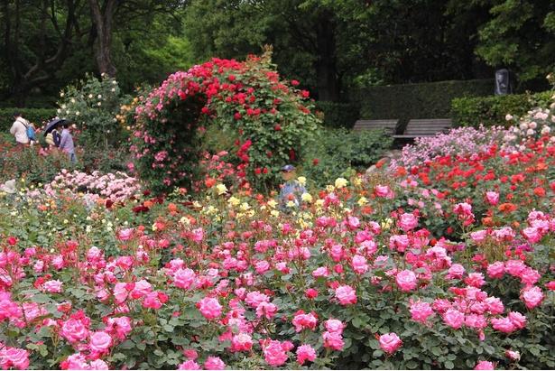 約250種1100株のバラが春と秋の時期に咲き誇る