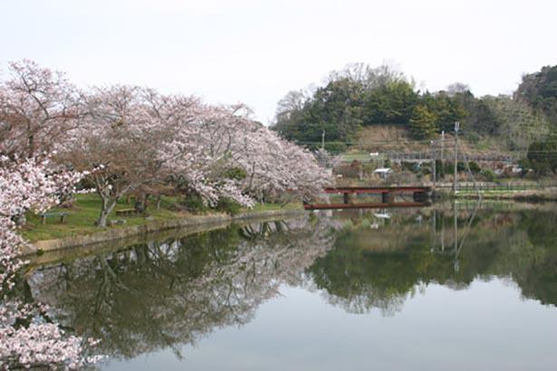 【写真】約30本の桜の木が園内の池を取り囲む