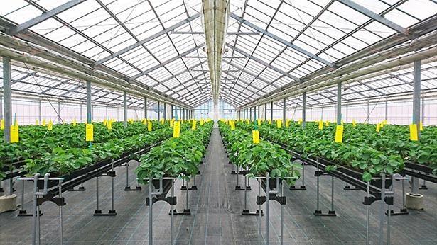公設栽培でいちごを育てる観光農園
