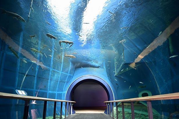 トンネル水槽では湖の底に潜った気分で魚たちを観察できる