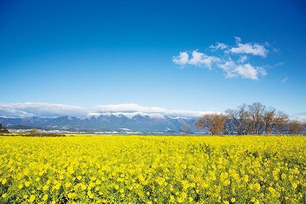 冠雪の比良山を背景に咲き誇るナノハナ