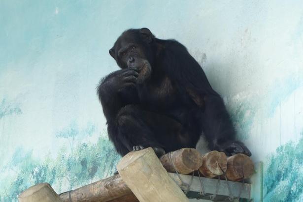 【写真】大阪・天王寺動物園のチンパンジーのリッキー君。チンパンジーは全部で6頭いる
