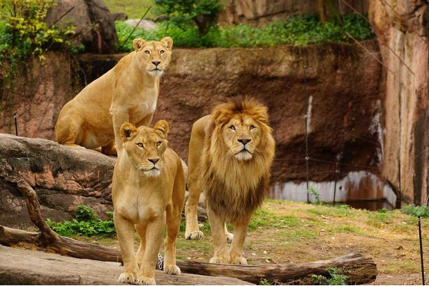 天王寺動物園で暮らす3頭のライオン。実は兄妹だって知ってた?