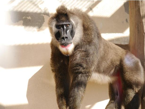 ドリルのドンさん。日本国内で天王寺動物園でしか会えない希少品種