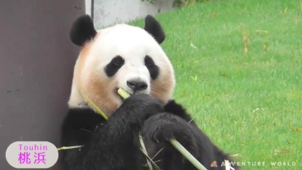 【写真】パンダの桃浜が両手で竹を抱えてもぐもぐ