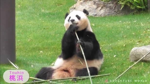 桃浜は双子の妹パンダ。耳の毛が短く、顔を横から見た時に鼻が長いのが特徴