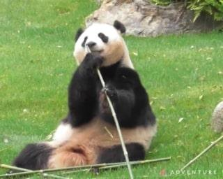 パンダ一家のママが太陽の下でウトウトモード?/アドベンチャーワールドのパンダ通信
