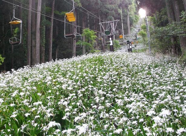 リフト下の群生するシャガは例年4月下旬から5月中旬にかけてが見頃/賤ケ岳リフト