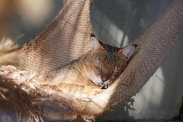 スリランカからやって来たジャングルキャット。ハンモックでお昼寝中