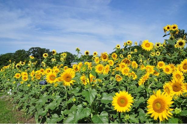 夏に咲き誇るヒマワリ。いろいろな品種が展示されている