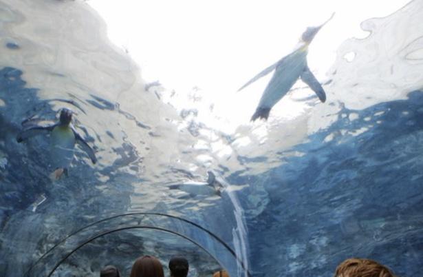 ペンギンたちの躍動感あふれる動きが見られる水中トンネル