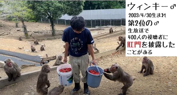 「飼育員のコシゴト」シリーズ。寄付でもらったイチゴをヤクシマザルにあげる舟橋さん。撮影を担当しているのは根本さん
