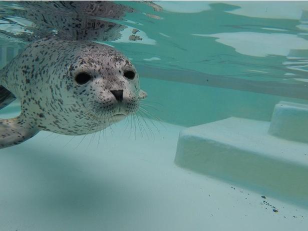 ゴマフアザラシは泳ぎがとっても上手