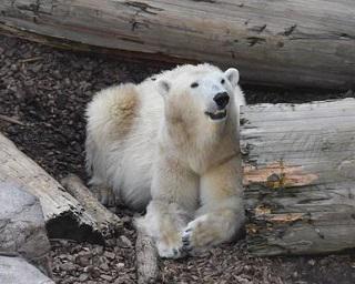 【コロナ対策情報付き】男鹿水族館GAOのアイドル、シロクマの豪太へ会いに行こう!