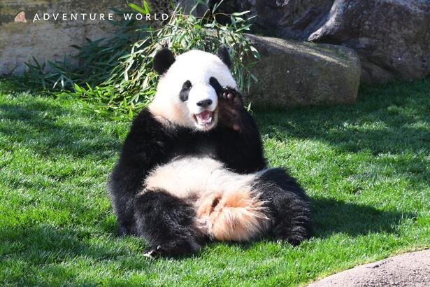 ジャイアントパンダは現在6頭。 パーク内でのんびりと過ごす愛らしい姿に癒される/アドベンチャーワールド