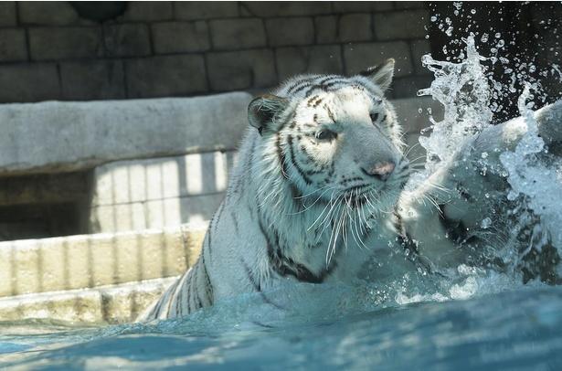 ガラス越しの大型プールでは、水の中に飛び込むホワイトタイガーを見られるかも
