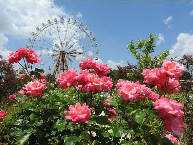 世界バラ会議で殿堂入りした16種を含め、約200種類のバラを観賞できる「ローズガーデン」