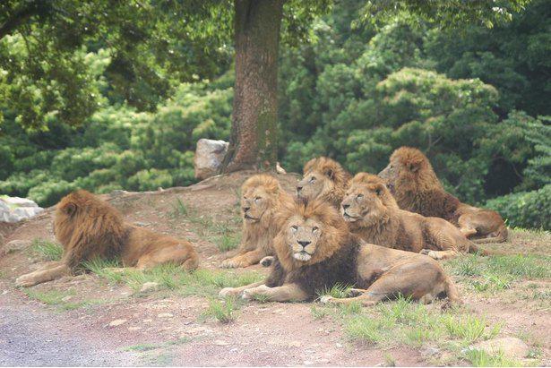 サファリランドでライオンやトラたちと接近できる