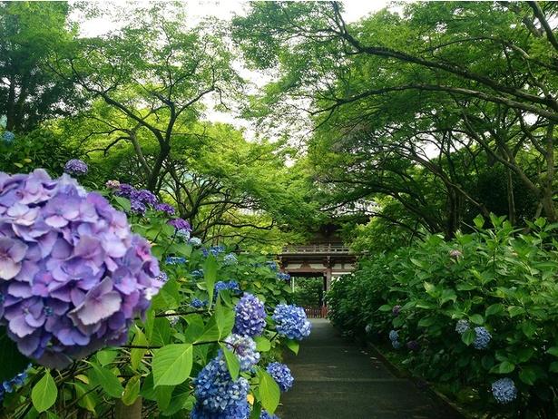 アジサイに導かれるよう。参道や楼門、そして境内のあちらこちらに咲く