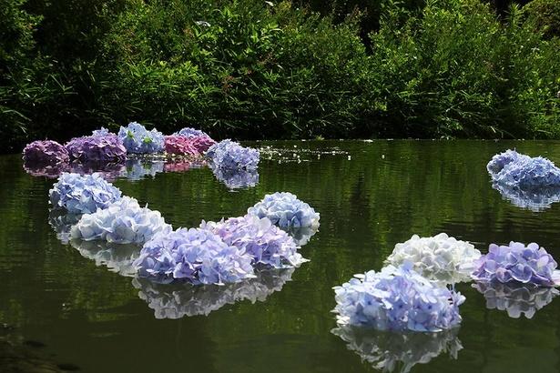 こまめにアジサイを入れ替え、うっとりするほどの美観を保つ。広さ約70㎡の「具足池」