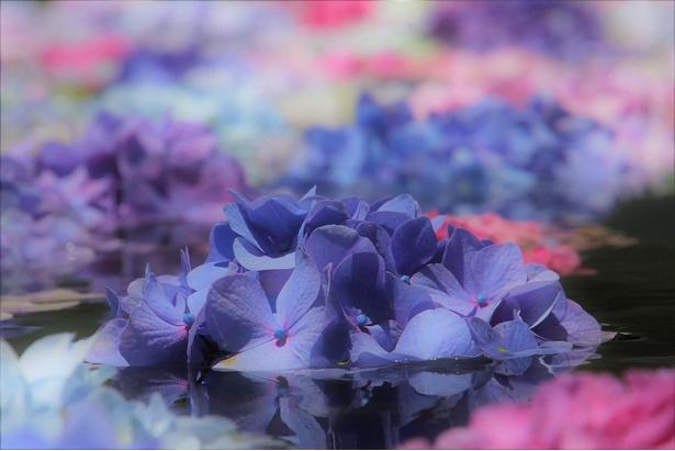 大阪・池田市「久安寺」の『池に浮かぶあじさい』。「花を観じ、命を観じ、自身の中にある『仏性』の花を咲かせる」というメッセージが込められている