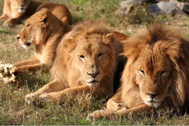 """""""百獣の王""""ライオン。ヒゲが立派なオスほど、ケンカが強くてメスにモテるともいわれる"""