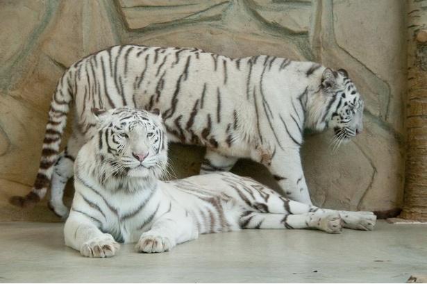 【写真】日本ではわずかな数しか飼育されていないホワイトタイガー