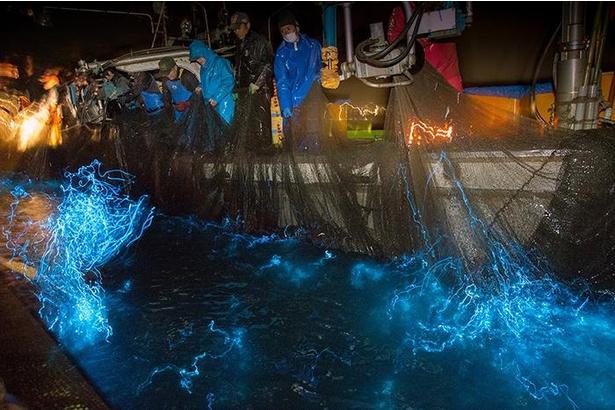 漁が始まると網に入ったホタルイカが一斉に光を放つ